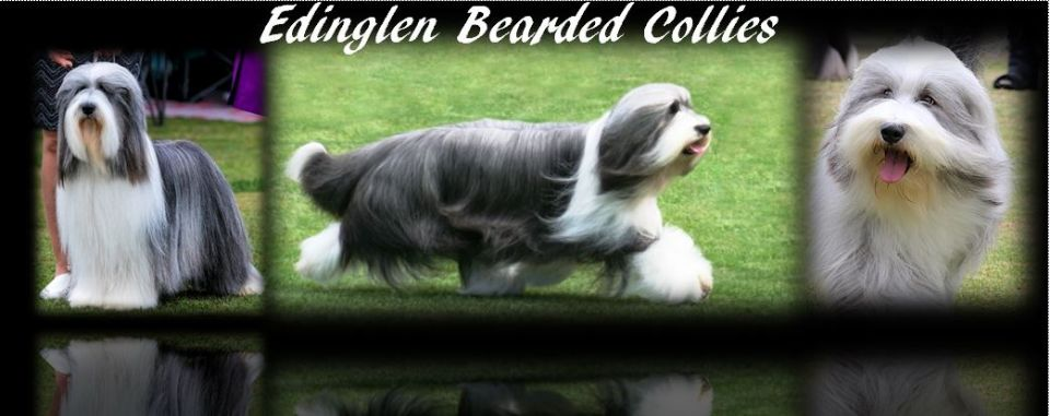 EDINGLEN BEARDED COLLIES